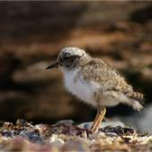 Shore plover. Chick. Mana Island, January 2009. Image © Colin Miskelly by Colin Miskelly