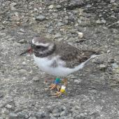 Shore plover. Immature. Plimmerton, August 2011. Image © Alan Tennyson by Alan Tennyson