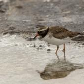 Shore plover. Adult female. Rangatira Island, October 2020. Image © James Russell by James Russell