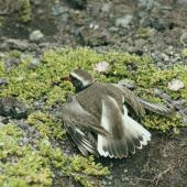 Shore plover. Adult female performing distraction display near nest. Rangatira Island, Chatham Islands, November 1978. Image © Department of Conservation (image ref: 10031409) by Rod Morris, Department of Conservation Courtesy of Department of Conservation