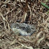 Shore plover. Young chicks and egg in nest. Rangatira Island, Chatham Islands, November 1975. Image © Department of Conservation (image ref: 10044646) by Rod Morris, Department of Conservation Courtesy of Department of Conservation