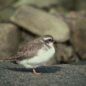 Shore plover. Juvenile. Mangere Island, Chatham Islands, May 1977. Image © Department of Conservation (image ref: 10031008) by Alan Wright, Department of Conservation Courtesy of Department of Conservation
