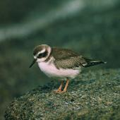 Shore plover. Juvenile. Rangatira Island, Chatham Islands, February 2004. Image © Department of Conservation (image ref: 10054722) by Don Merton, Department of Conservation Courtesy of Department of Conservation