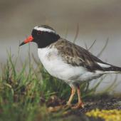 Shore plover. Adult male. Rangatira Island, Chatham Islands. Image © Department of Conservation (image ref: 10057179) by Don Merton, Department of Conservation Courtesy of Department of Conservation
