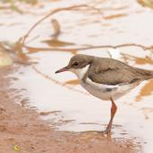 Red-kneed dotterel. Juvenile. Coomeroo Pool, Carnarvon, Western Australia, November 2018. Image © Les George 2019 birdlifephotography.org.au by Les George