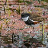 Red-kneed dotterel. Adult. Western Treatment Plant, Victoria,  Australia, November 2017. Image © Mark Lethlean by Mark Lethlean