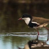 Red-kneed dotterel. Adult. Kedron Brook Wetlands, Queensland, January 2018. Image © Oscar Thomas by Oscar Thomas