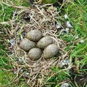 Spur-winged plover. Nest with 5 eggs (unusually large clutch). Ambury Regional Park, Auckland, September 2015. Image © Jacqui Geux by Jacqui Geux
