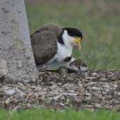 Spur-winged plover. Parent, chick and remaining two eggs. Flat Bush,  Auckland, August 2014. Image © Marie-Louise Myburgh by Marie-Louise Myburgh
