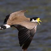 Spur-winged plover. Dorsal view of adult in flight. Wanganui, February 2013. Image © Ormond Torr by Ormond Torr