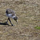 Spur-winged plover. Four-week-old chick. Tauranga, September 2011. Image © Raewyn Adams by Raewyn Adams