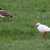 Spur-winged plover. Leucistic adult with mate. Waipawa, Hawke's Bay, September 2013. Image © Adam Clarke by Adam Clarke