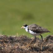 Spur-winged plover. Fledgling feeding in a paddock. Potts Road near Whitford, November 2016. Image © Marie-Louise Myburgh by Marie-Louise Myburgh