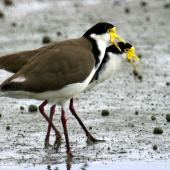 Spur-winged plover. Two adults. Manawatu River estuary, August 2009. Image © Alex Scott by Alex Scott