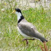 Spur-winged plover. Adult walking. Renwick, January 2013. Image © Alan Tennyson by Alan Tennyson Alan Tennyson