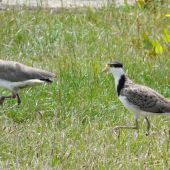 Spur-winged plover. Fledgling with adult. Renwick, January 2013. Image © Alan Tennyson by Alan Tennyson