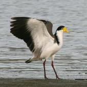 Spur-winged plover. Adult with wings raised showing wing spurs. Wanganui, April 2008. Image © Ormond Torr by Ormond Torr