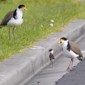 Spur-winged plover. Parents trying to rescue chick who fell of the curb-stone, near their nest. Flat Bush Auckland, August 2014. Image © Marie-Louise Myburgh by Marie-Louise Myburgh