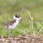 Spur-winged plover. Chick foraging. Flat Bush Auckland, August 2014. Image © Marie-Louise Myburgh by Marie-Louise Myburgh