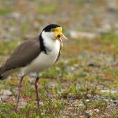 Spur-winged plover. Adult calling aggressively, showing wing spurs. Palmerston North, October 2009. Image © Phil Battley by Phil Battley