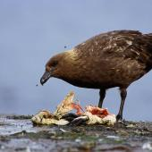 Subantarctic skua. Adult dining on blue penguin. Rangatira Island, January 2004. Image © Matt Charteris and Don Merton by Matt Charteris and Don Merton