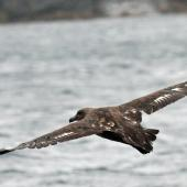 Subantarctic skua. Adult in flight showing upper surface. Stewart Island, February 2010. Image © Duncan Watson by Duncan Watson