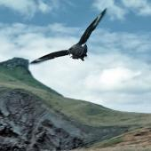 Subantarctic skua. Adult diving to defend its nest. Mangere Island, Chatham Islands, December 1982. Image © Department of Conservation by Dave Crouchley Courtesy of Department of Conservation