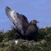 Subantarctic skua. Adult displaying. Forty Fours,  Chatham Islands, December 2009. Image © Mark Fraser by Mark Fraser