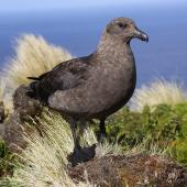 Subantarctic skua. Adult. Antipodes Island, March 2010. Image © Mark Fraser by Mark Fraser
