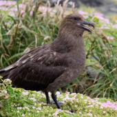Subantarctic skua. Adult calling. The Pyramid,  Chatham Islands, November 2010. Image © Mark Fraser by Mark Fraser