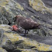 Subantarctic skua. Adult feeding on Chatham Island mollymawk chick. The Pyramid,  Chatham Islands, November 2010. Image © Mark Fraser by Mark Fraser