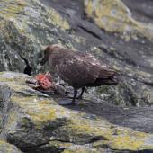 Subantarctic skua. Adult feeding on Chatham Island mollymawk chick. The Pyramid,  Chatham Islands, November 2010. Image © Mark Fraser by Mark Fraser