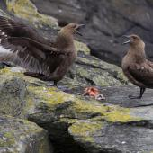 Subantarctic skua. Pair feeding on Chatham Island mollymawk chick (bird on left displaying). The Pyramid,  Chatham Islands, November 2010. Image © Mark Fraser by Mark Fraser