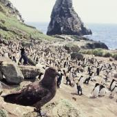 Subantarctic skua. Adult at penguin colony. Orde Lees, Antipodes Island, November 1995. Image © Alan Tennyson by Alan Tennyson Alan Tennyson