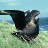 Subantarctic skua. Adult with wings raised. Mangere Island, Chatham Islands, January 1988. Image © Alan Tennyson by Alan Tennyson