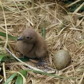 Subantarctic skua. Downy chick and egg in nest. Snares Islands, November 1986. Image © Alan Tennyson by Alan Tennyson