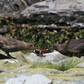 Subantarctic skua. Adult and chick pulling diving petrel apart. Snares Islands. Image © Alan Tennyson by Alan Tennyson Alan Tennyson