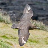Subantarctic skua. Dorsal view in flight. Enderby Island, Auckland Islands, January 2010. Image © John Woods by John Woods