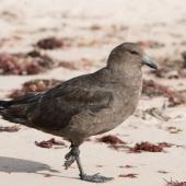 Subantarctic skua. Walking on the beach. Enderby Island, January 2010. Image © John Woods by John Woods