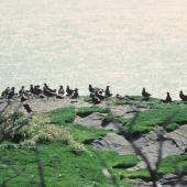 Subantarctic skua. Large 'club' of prebreeders. Skua Point, Snares Islands, February 1983. Image © Colin Miskelly by Colin Miskelly