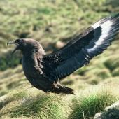 Subantarctic skua. Adult territorial display. Snares Islands. Image © Department of Conservation (image ref: 10048695) by Department of Conservation Courtesy of Department of Conservation
