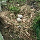 Subantarctic skua. Nest with 2 eggs. Snares Islands. Image © Department of Conservation (image ref: 10048696) by Department of Conservation Courtesy of Department of Conservation