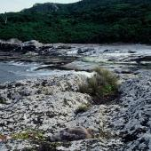 Subantarctic skua. Camouflaged chick hiding. Rangatira Island, Chatham Islands. Image © Department of Conservation (image ref: 10050879) by Helen Gummer, Department of Conservation Courtesy of Department of Conservation