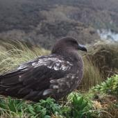 Subantarctic skua. Bird with pale wing feathering. Campbell Island, September 2004. Image © Department of Conservation (image ref: 10055959) by Helen Gummer, Department of Conservation Courtesy of Department of Conservation