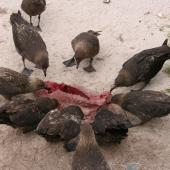 Subantarctic skua. Flock feeding on NZ sea lion pup carcass. Enderby Island Auckland Islands, December 2005. Image © Andrew Maloney by Andrew Maloney