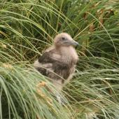 Subantarctic skua. Half-grown chick. Davis Point, Campbell Island. Image © Andrew Maloney by Andrew Maloney