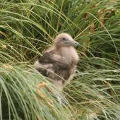 Subantarctic skua. Half-grown chick. Davis Point, Campbell Island. Image © Andrew Maloney by Andrew Maloney