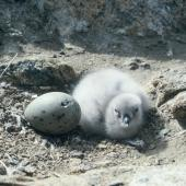 South Polar skua. Egg and young chick in nest scrape. Hop Island, Prydz Bay, Antarctica, December 1989. Image © Colin Miskelly by Colin Miskelly