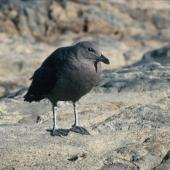 South Polar skua. Fledgling. Hop Island, Prydz Bay, Antarctica, February 1990. Image © Colin Miskelly by Colin Miskelly