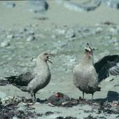 South Polar skua. Pair displaying over Adelie penguin carcass. Hop Island, Prydz Bay, Antarctica, December 1989. Image © Colin Miskelly by Colin Miskelly